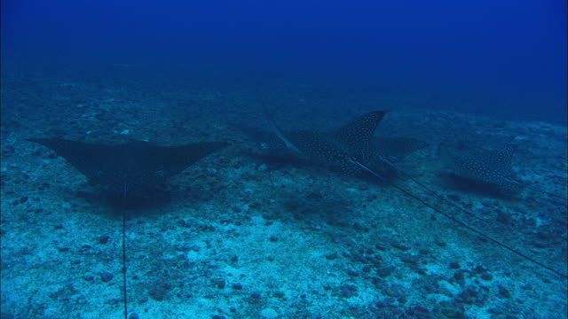 eagle rays swimming, costa rica, pacific ocean  - eagle ray stock videos and b-roll footage