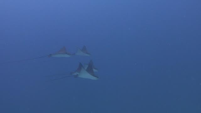 eagle rays - liten djurflock bildbanksvideor och videomaterial från bakom kulisserna