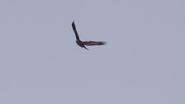 eagle soars in sky, alaska. - bird of prey stock videos & royalty-free footage