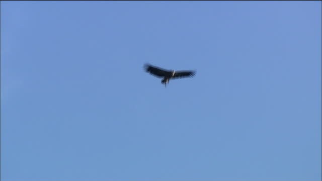 Eagle soars over blue skies, Spain