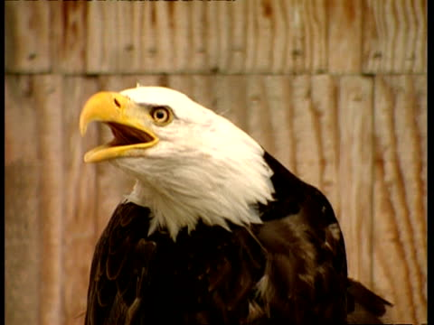 cu eagle squawking - singing stock videos & royalty-free footage