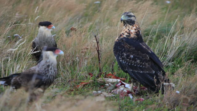 ms eagle standing on dead prey with two southern crested caracara moving around / torres del paine, chilean patagonia, chile - kleine gruppe von tieren stock-videos und b-roll-filmmaterial