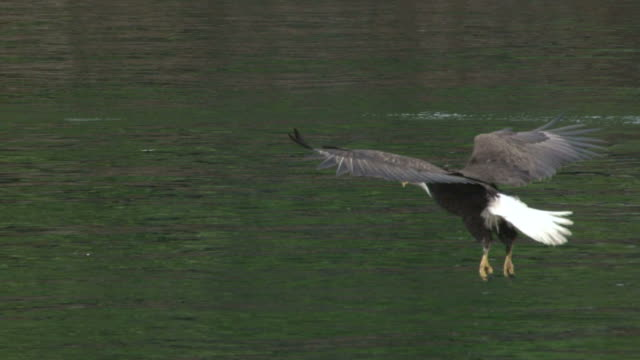eagle swooping for fish - eagle bird stock videos and b-roll footage