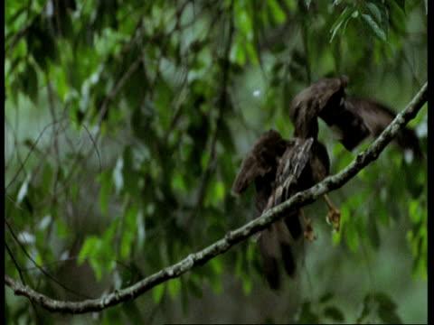 eagle taking off from branch, flies away from camera, high speed, western ghats, india - tierisches verhalten stock-videos und b-roll-filmmaterial