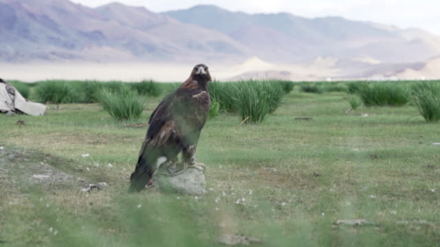 eagle waiting with carcass - golden eagle stock videos & royalty-free footage