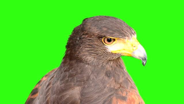 イーグルに緑色の画面背景 - 猛禽点の映像素材/bロール