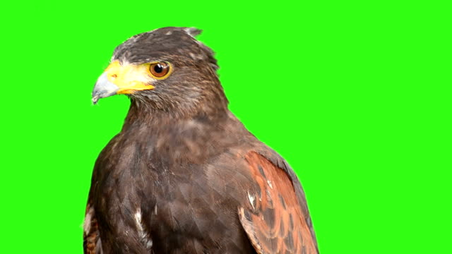 eagle with green screen background - eagle bird stock videos and b-roll footage