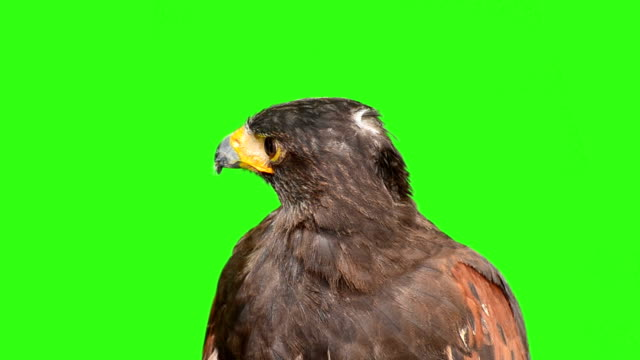 Eagle With Green Screen Background