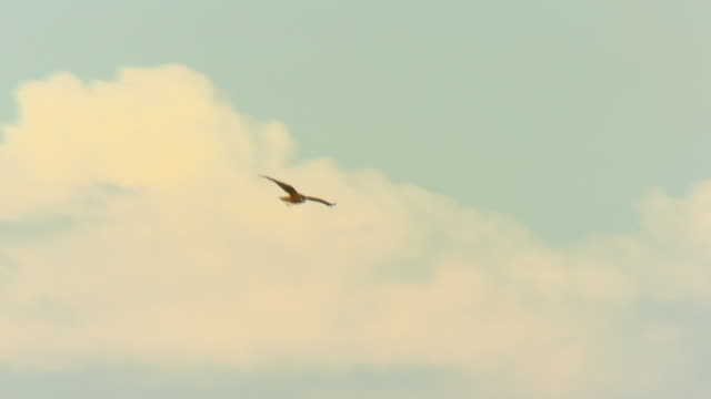 eagle/falcon soaring against a pale blue white cloudy sky - eagle stock videos & royalty-free footage