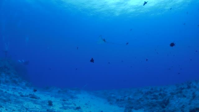 海底のサンゴ礁で泳ぐ eagleray - トビエイ点の映像素材/bロール