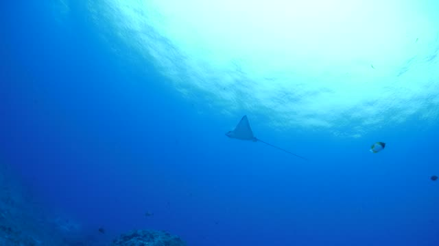 eagleray swimming under sea surface - eagle ray stock videos and b-roll footage