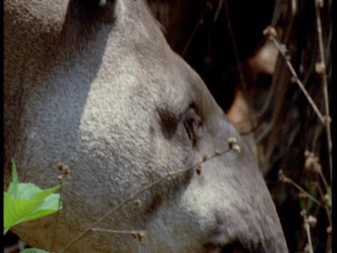 ear and face of lowland tapir, south america - tierische nase stock-videos und b-roll-filmmaterial