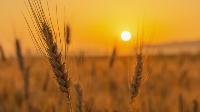 vídeos y material grabado en eventos de stock de t/l oreja de trigo dorado al amanecer - trigo