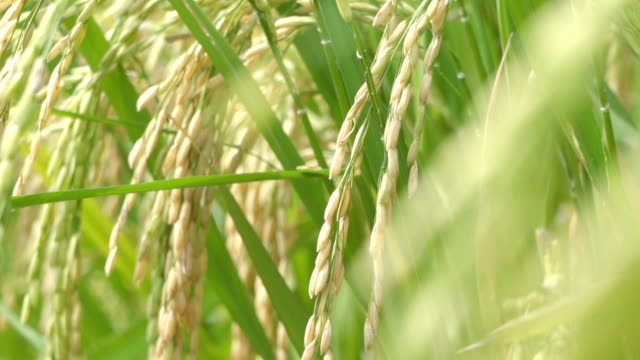 slomo  ear of rice in paddy. - satoyama scenery stock videos & royalty-free footage
