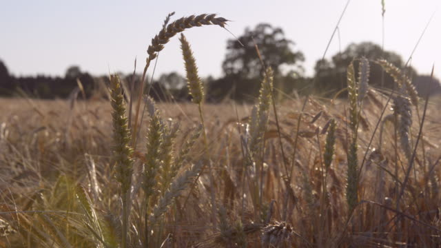 ear of wheat in field (triticum) - ear of wheat stock videos and b-roll footage