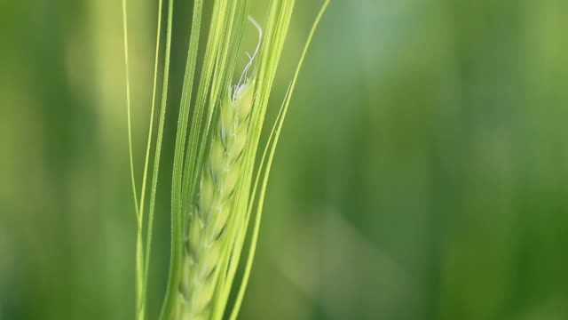 ear of wheat moving gently in the wind - ear of wheat stock videos and b-roll footage
