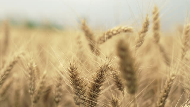 Ear of wheat swaying on wind, selective focus