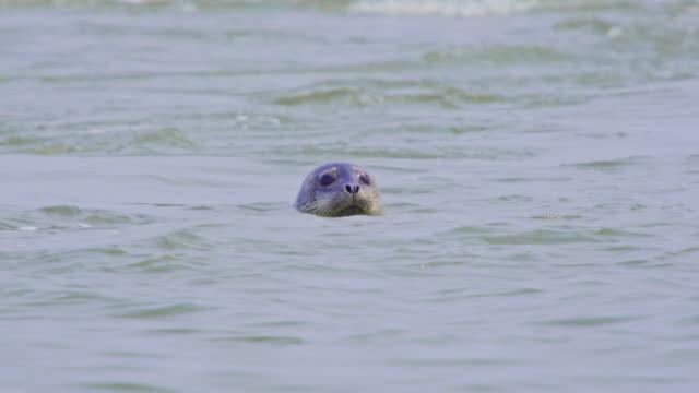 vidéos et rushes de earless seal popping its head above the water / dmz, south korea - film documentaire image animée