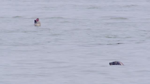 vidéos et rushes de earless seals floating on the water / dmz, south korea - film documentaire image animée