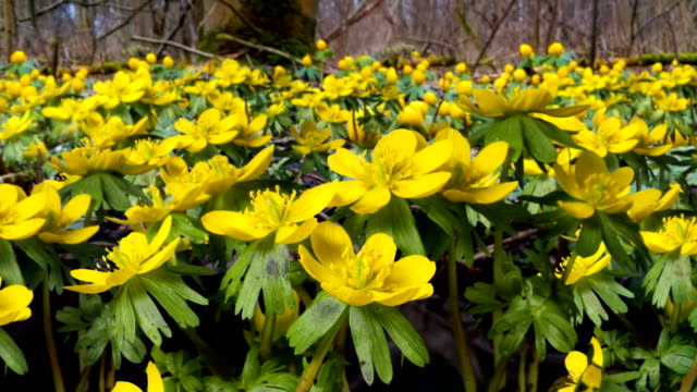 early blooming flowers after winter - wildflower stock videos & royalty-free footage