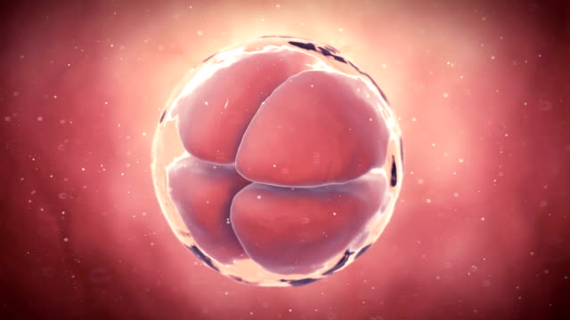 early human embryo - development stock videos & royalty-free footage