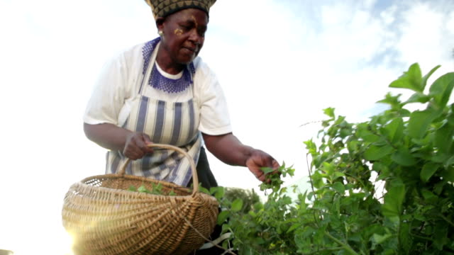 Early Morning African business woman harvesting herbs Low angle