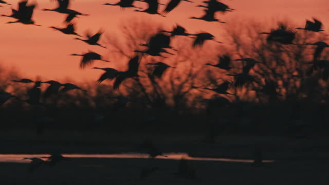 Early morning - hundreds of Sandhill Cranes take off from a sandbar where they have rested overnight on their great migration north.