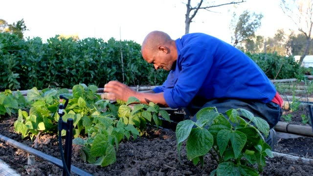 early morning in the vegetable garden harvesting - bean stock videos & royalty-free footage