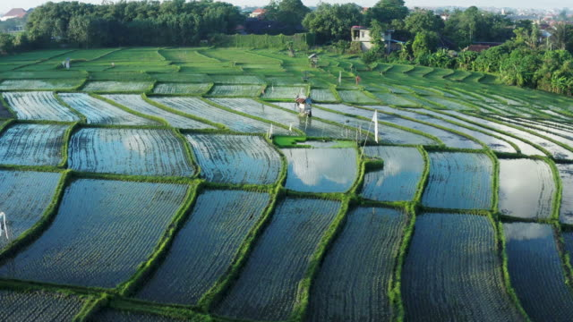 early morning view of fresh rice paddy field in bali - ubud district stock videos & royalty-free footage