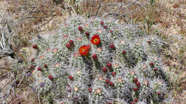 4k - early spring barrel cactus with blooms and bright red flowers - barrel cactus stock videos and b-roll footage