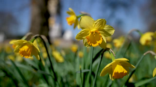 early spring weather brings out daffodils flowers in the centre of london on march 09, 2021 in london, england - springtime stock videos & royalty-free footage