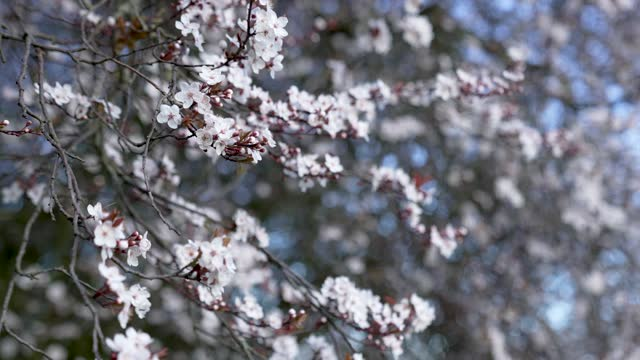 early spring weather has brought cherry blossom trees to bloom at alexandra place park on march 09, 2021 in london, england - springtime stock videos & royalty-free footage