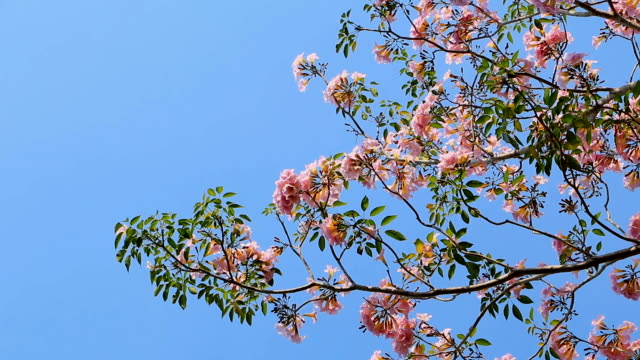Early year Pink flowers Tabebuia rosea blossom sway with the wind on tree of Central Thailand are popular.