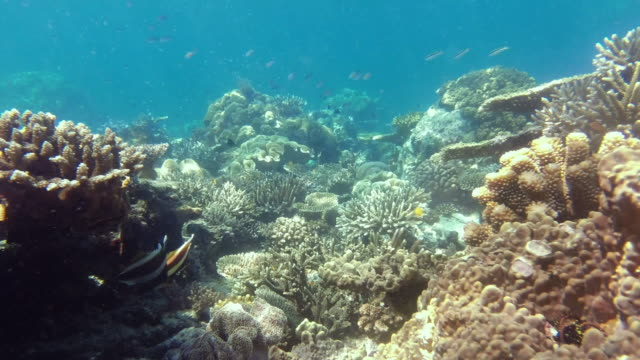earning their stripes in sea life - butterflyfish stock videos & royalty-free footage