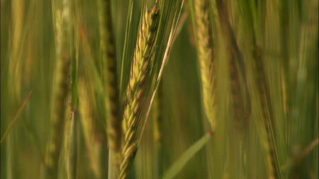 cu ears of barley in wind - grass family stock videos & royalty-free footage