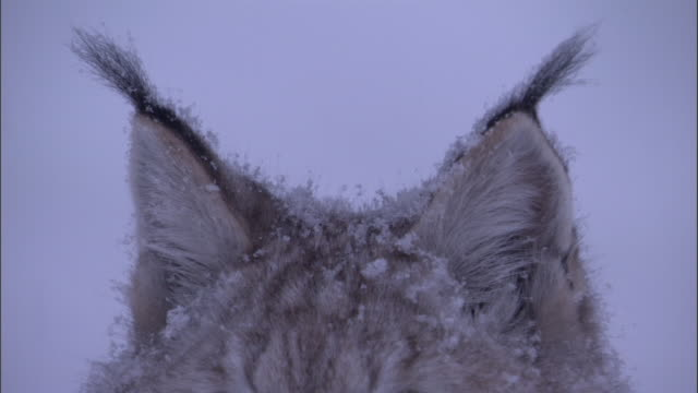 vidéos et rushes de ears of eurasian lynx in snowy boreal forest, sweden - froid