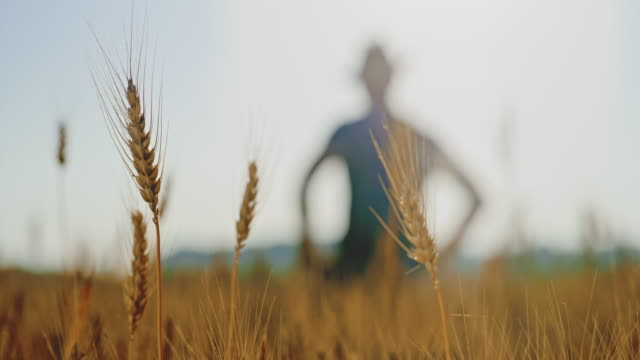 cu ears of golden wheat and a farmer walking in the field - sweat stock videos & royalty-free footage