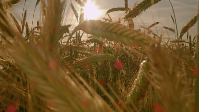 ds ears of golden wheat at sunset - plant stem stock videos & royalty-free footage