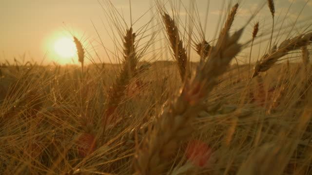 vídeos y material grabado en eventos de stock de ds orejas de trigo dorado al atardecer - trigo