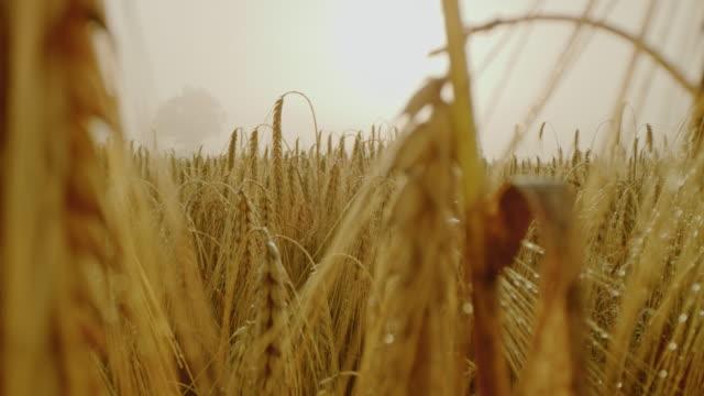 vídeos de stock e filmes b-roll de cu ears of golden wheat in mist - trigo