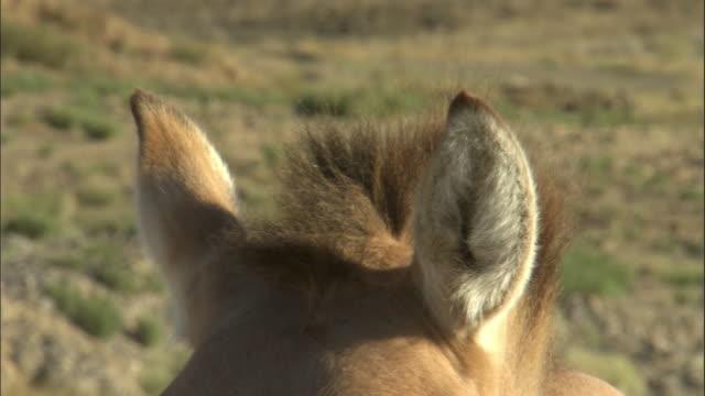 ears of przewalski's horse, kalamaili nature reserve, xinjiang, china - przewalskihäst bildbanksvideor och videomaterial från bakom kulisserna