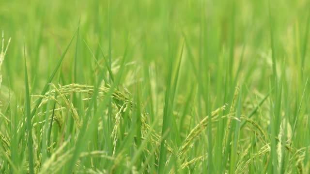 vídeos de stock, filmes e b-roll de orelhas de arroz balançando ao vento - alto contraste