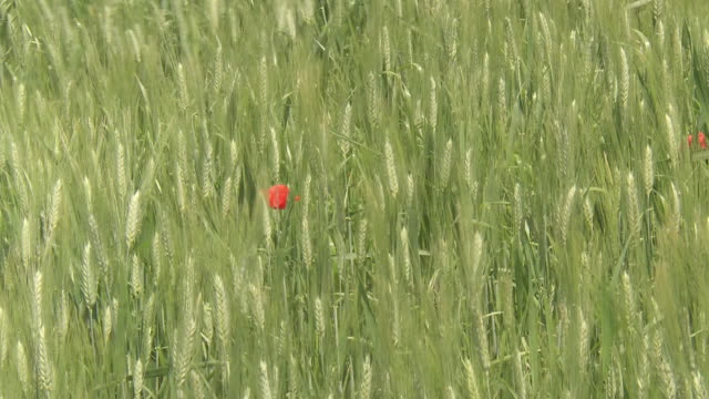 cu ears of wheat and poppies swaying on breeze / pienza, tuscany, italie - オニゲシ点の映像素材/bロール