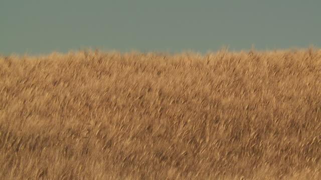 ms ears of wheat moving on wind at field / pienza, tuscany, italie - 小麦点の映像素材/bロール
