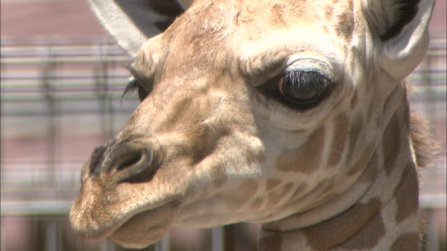 vídeos de stock e filmes b-roll de ears twitch on a giraffe. - linha ondulada