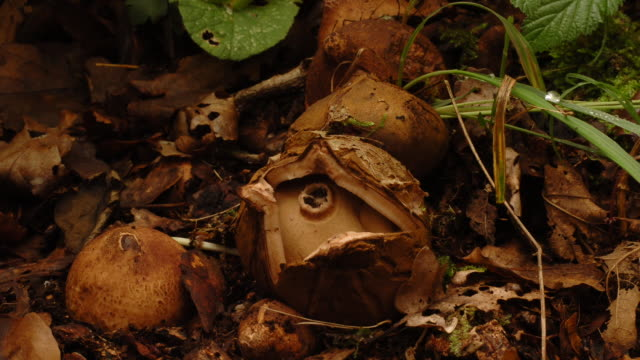 t/l earthstar (family geastraceae) fungus opening, take 1, united kingdom - fungus stock videos and b-roll footage