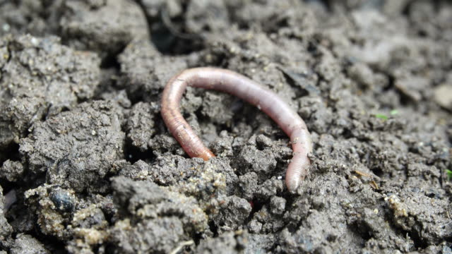 earthworm crawling into the dirt - worm stock videos and b-roll footage