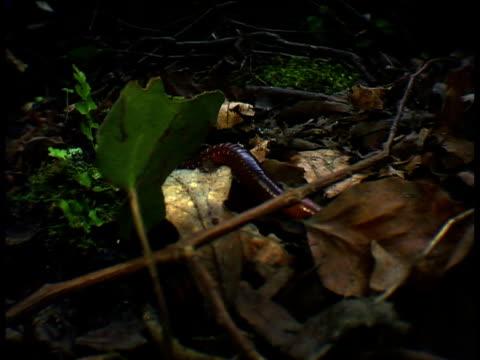 Earthworm crawls through leaf litter