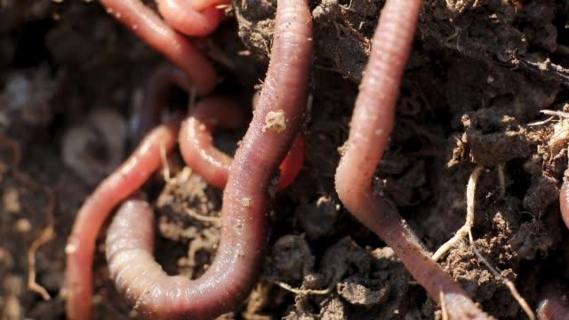 vídeos de stock e filmes b-roll de earthworms in dirt - porta amostra