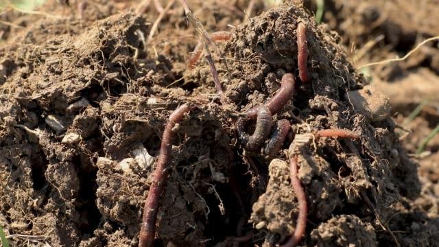 Regenwürmer in Dirt